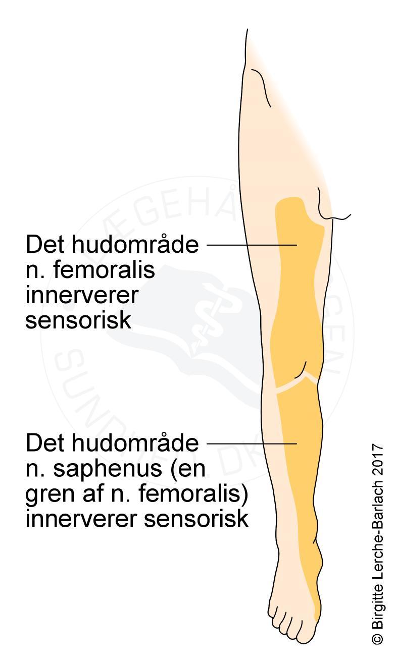 Erfreut N.saphenus Zeitgenössisch - Menschliche Anatomie Bilder ...