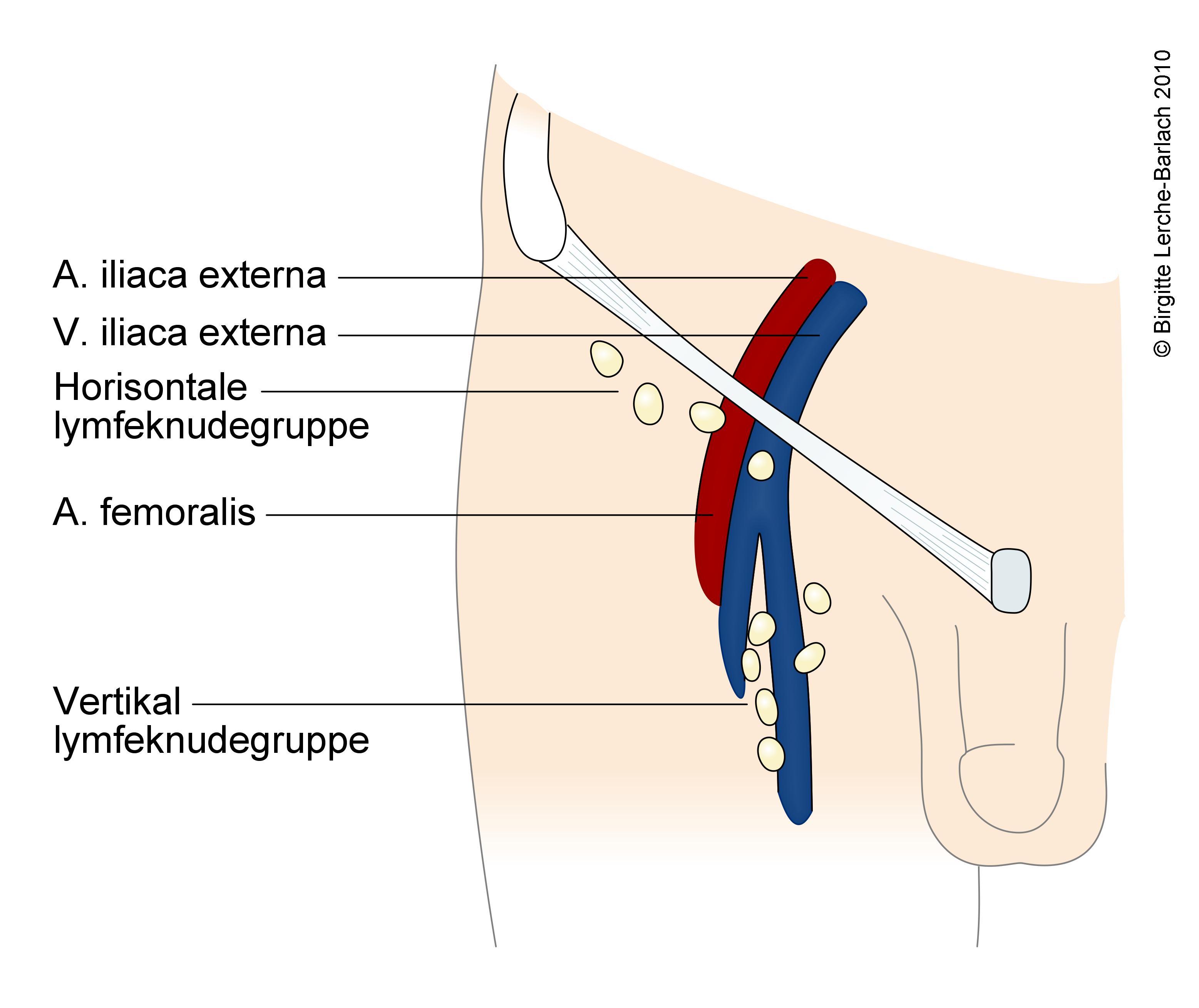 Lymfekirtler lysken hævede i Lymfeknuder er