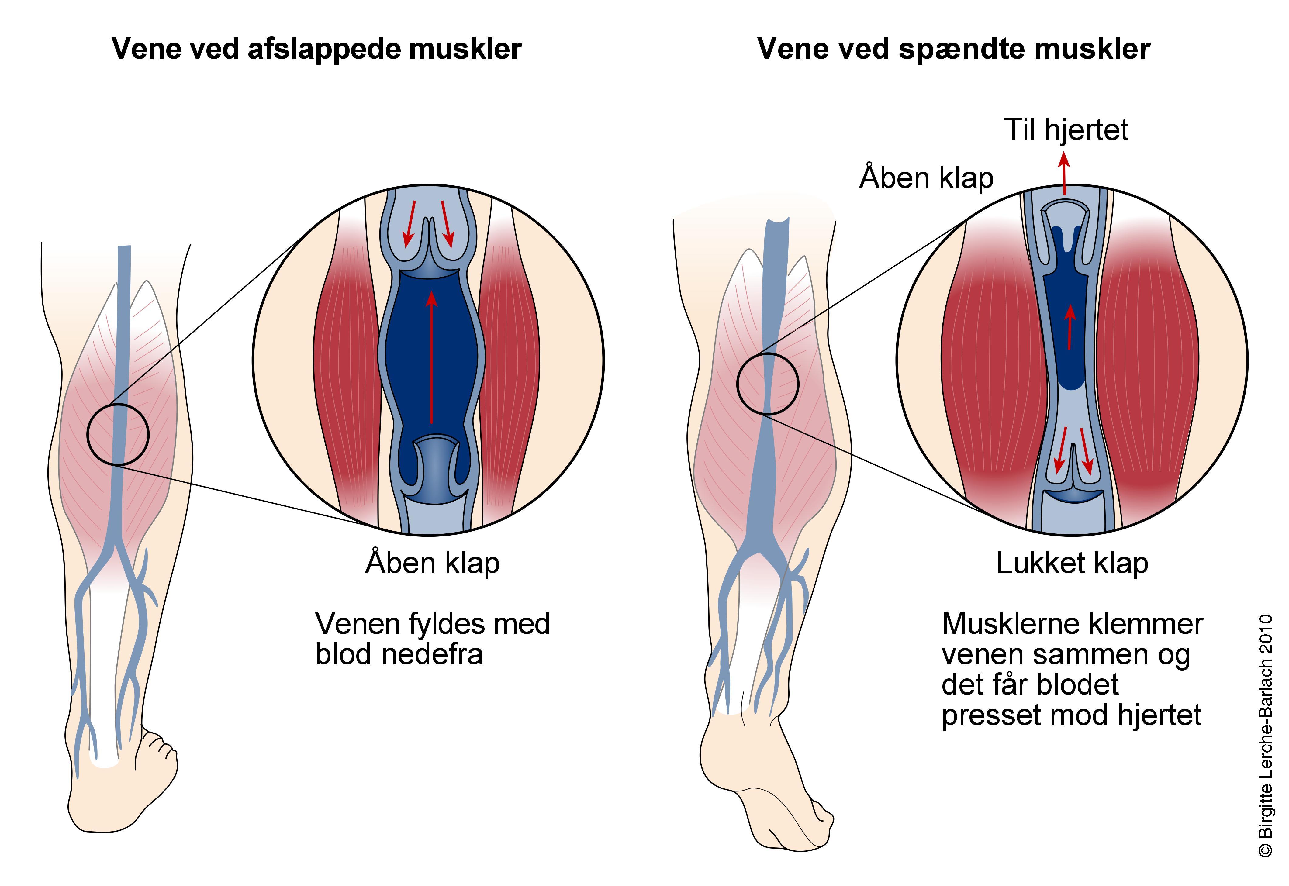 Groß Funktion Der Venen Fotos - Menschliche Anatomie Bilder ...